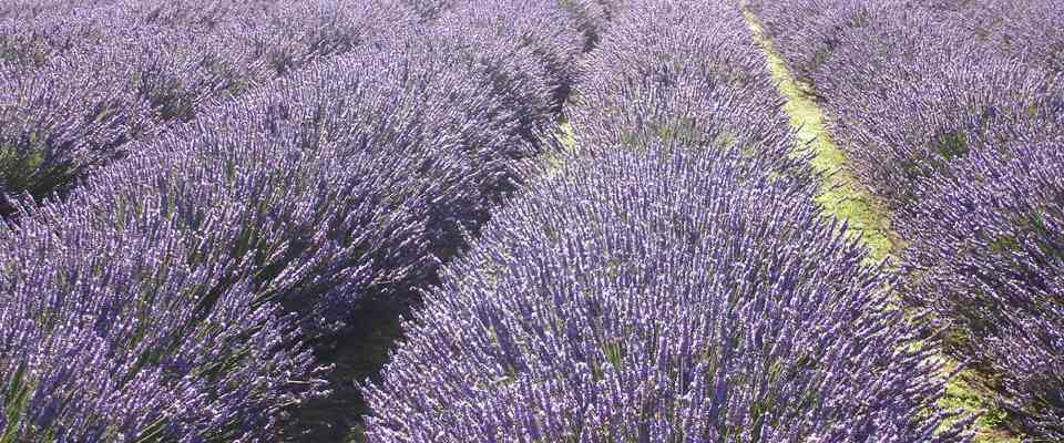 rows of lavender plants